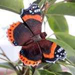 WG596 - Red Admiral